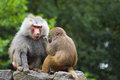 Two baboons on rocks sitting and catching fleas Royalty Free Stock Photography