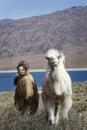 Two baby camel kyrgyzstan chui valley central asia Stock Photos