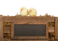 Two Baby Chicks Royalty Free Stock Photo