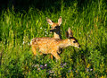 Two baby deer in forest, Yellowstone Wyoming Stock Photo