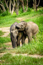 Two baby elephants playing in grassland field. Royalty Free Stock Images