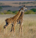 Two baby giraffe in savanna. Kenya. Tanzania. East Africa. Royalty Free Stock Photo