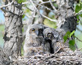 Two baby owls in nest Royalty Free Stock Photos