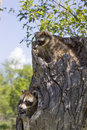 Two baby raccoons playing in log Royalty Free Stock Photos