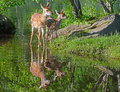 Two baby white tailed deer and water reflections of Royalty Free Stock Images