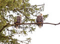 Two bald eagles Stock Photo