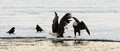 Two bald eagles and two ravens egles haliaeetus leucocephalus on the snow Stock Photos