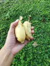 Two Bananas in human hand. Royalty Free Stock Photo