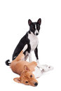 Two basenjis on white isolated the background Stock Photos