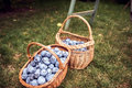 Two baskets of plums full of plums in the orchard Royalty Free Stock Photo