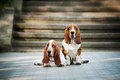 Two Basset hound Royalty Free Stock Images