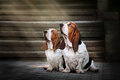 Two Basset hound sitting and looks up at light Stock Image