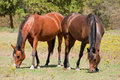 Two bay Arabian horses nibbling on short grass Stock Images