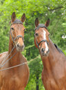 Two bay horses Royalty Free Stock Photo