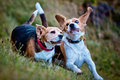 Two Beagle dogs playing Royalty Free Stock Images