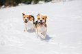 Two beagles playing in snow young chasing and with each other Royalty Free Stock Photo