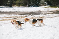 Two beagles playing in snow young chasing and with each other Stock Image
