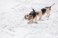 Two beagles running in snow young chasing each other Stock Image