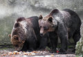 Two bear brothers (Ursus arctos) Royalty Free Stock Photos