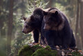 Two bears Royalty Free Stock Photo