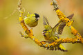 Two beautiful bird on the branch. Eurasian Siskin, Carduelis spinus, sitting on the branch with yellow lichen, clear background. Royalty Free Stock Photo
