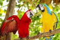 Two beautiful carribean maccaws on exotic beach at Saona island Royalty Free Stock Photo