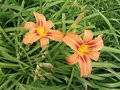 Two beautiful lilies Royalty Free Stock Photo