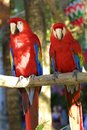 Macaw parrots, Mexico Royalty Free Stock Photo