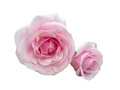 Two beautiful pink roses Royalty Free Stock Photo