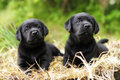Two beautiful purebred black puppy dog Labrador Royalty Free Stock Photo