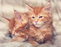 Two beautiful red solid maine coon kittens covered in warm blank