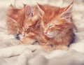 Two beautiful red solid maine coon kittens lying on the blanket