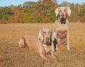 Two beautiful Weimaraner dogs Stock Image