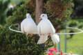 Two beautiful white dove, symbol of peace and love Royalty Free Stock Photo