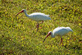 Two beautiful white herons with long beaks walking Royalty Free Stock Images