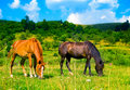 Two beautiful wild horses in the meadow Royalty Free Stock Photo
