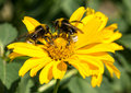 Two bees collects pollen from yellow flowers perennial aster in the garden Royalty Free Stock Images