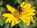 Two bees collects pollen from yellow flowers perennial aster Royalty Free Stock Photo