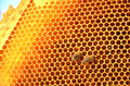 Two bees on honeycomb frame in the springtime Royalty Free Stock Photo