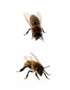 Two bees isolated on white background Royalty Free Stock Images