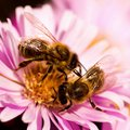 Two bees on one flower pollination Royalty Free Stock Photo