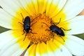 Two beetles Stock Photos