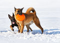 Two belgian shepherds plays with a disk frisbee Stock Images