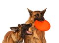 Two belgian shepherds plays disk frisbee isolate white Royalty Free Stock Photos