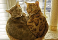Two Bengal cats in a cuddling position Royalty Free Stock Photo