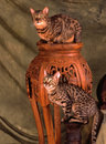 Two bengal cats on a indian table placed on a green backdrop Royalty Free Stock Photography