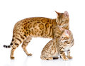Two Bengal Cats. Mother Cat An...