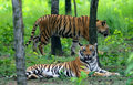 Two Bengal tigers Royalty Free Stock Photo