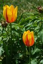 Two bicolored Tulip flowers of Twinkle cultivar, yellow with red vertical stripes on petals Royalty Free Stock Photo