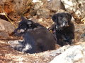 Two big black dogs lying Royalty Free Stock Photo